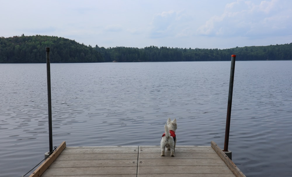 white short coated small dog on brown wooden dock during daytime