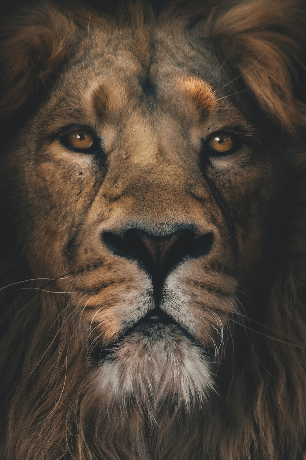 brown lion in close up photography