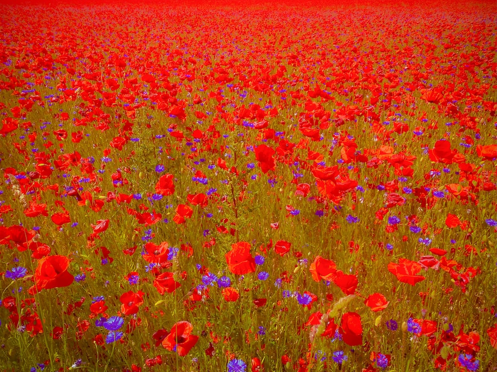 red and yellow flower field during daytime