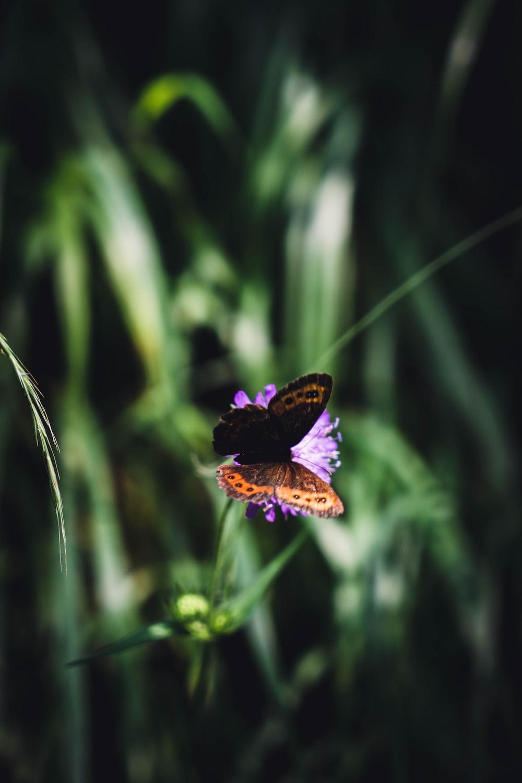 purple and black butterfly on purple flower