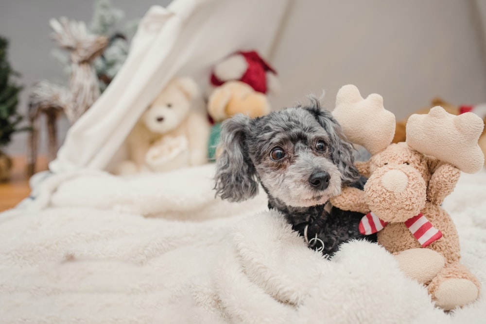 black and white long coated small sized dog on white textile
