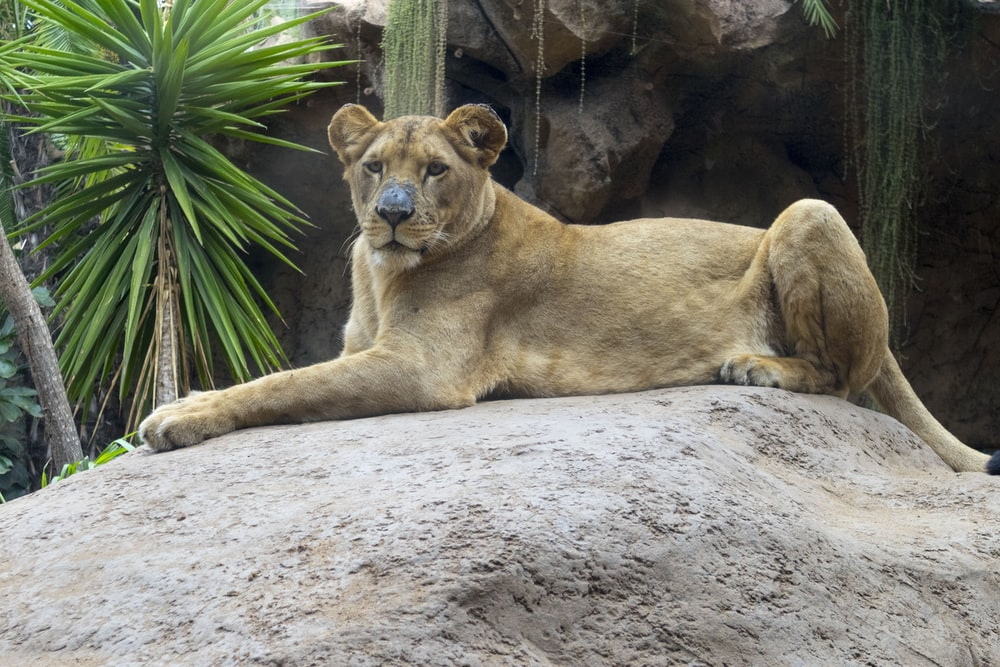 brown lioness lying on gray sand during daytime