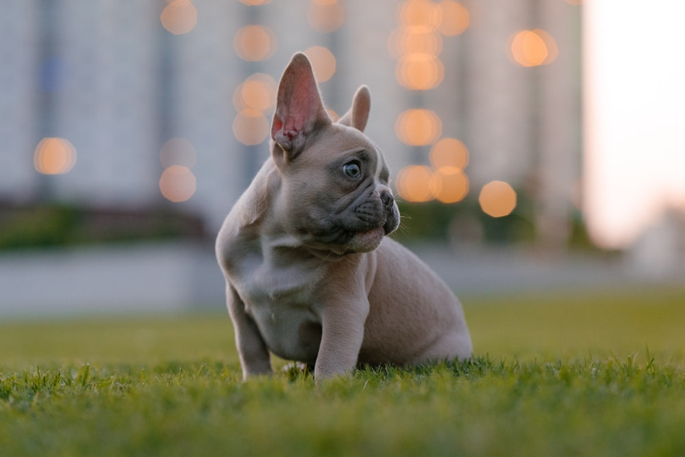 fawn pug puppy on green grass field during daytime