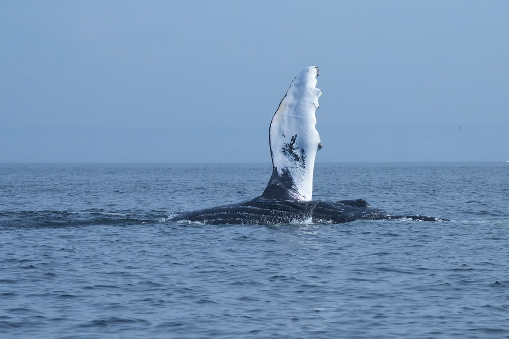 white and black whale in the middle of ocean during daytime