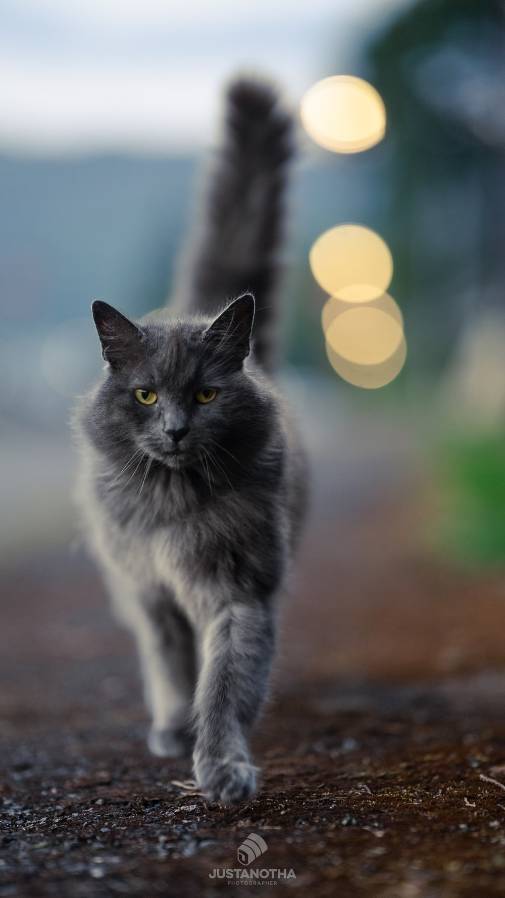 russian blue cat on brown ground