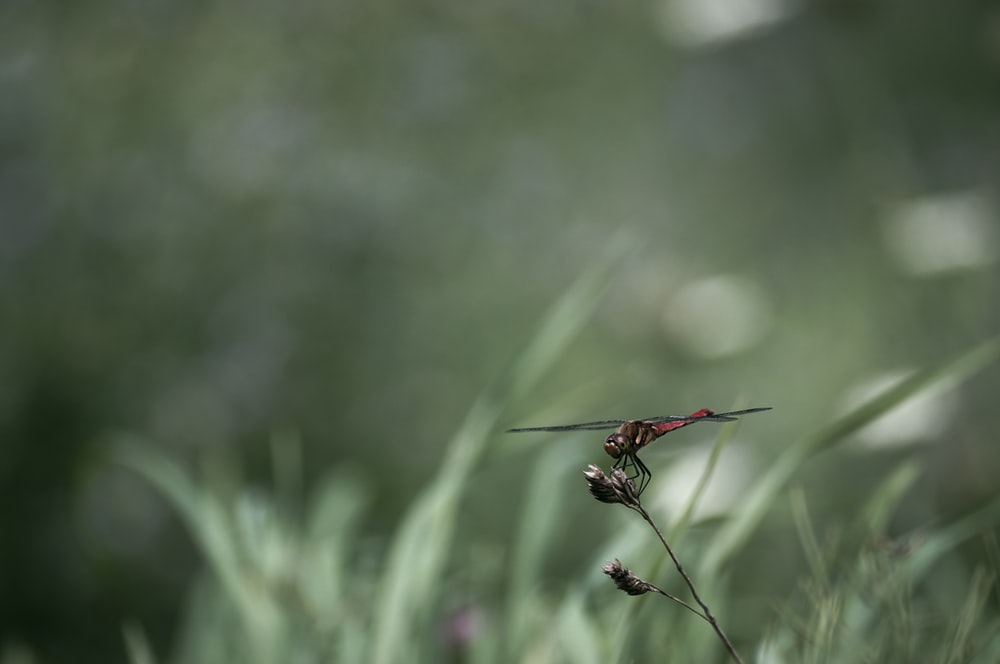 red dragonfly perched on green grass in close up photography during daytime