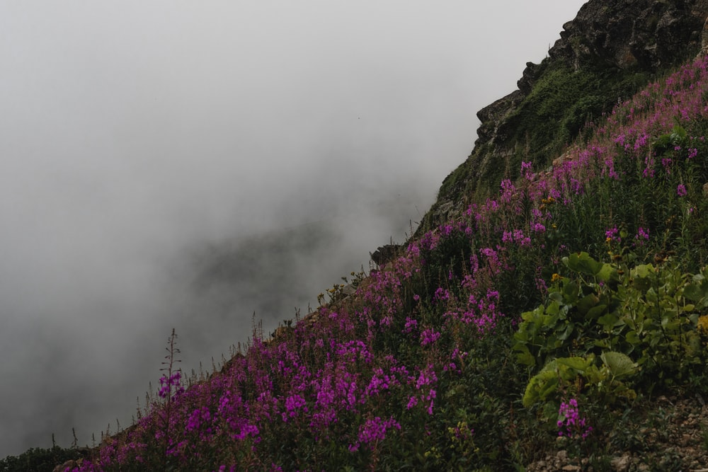 purple flowers on mountain during foggy day