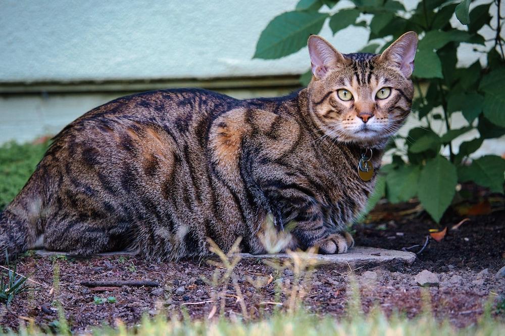 brown tabby cat on brown dirt