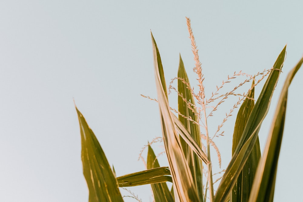 green corn plant under white sky during daytime