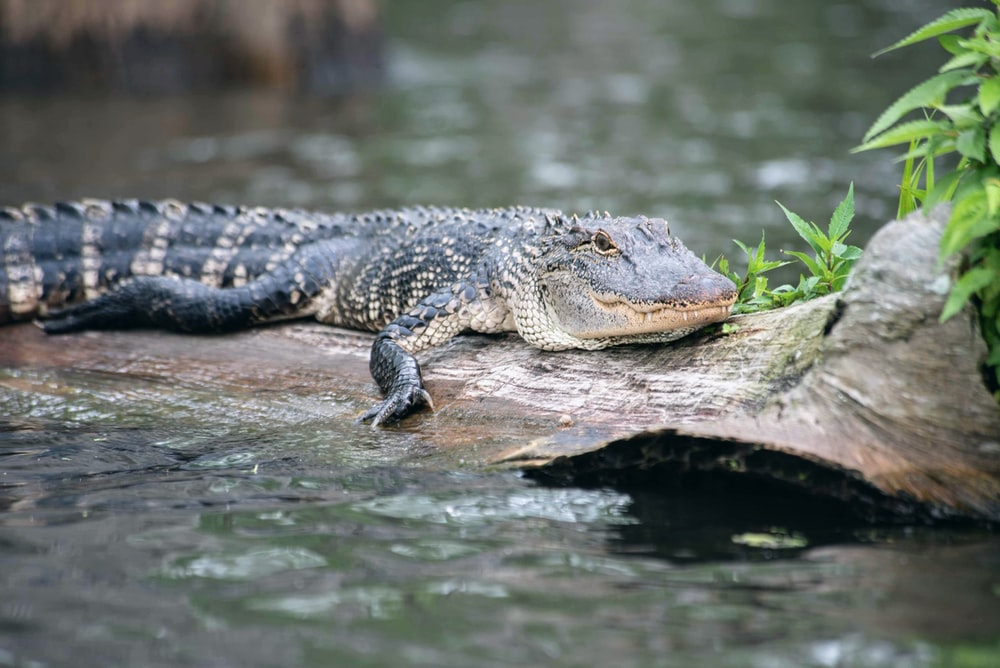 black crocodile on brown rock