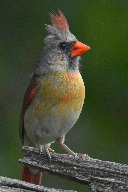 gray and orange bird on brown tree branch