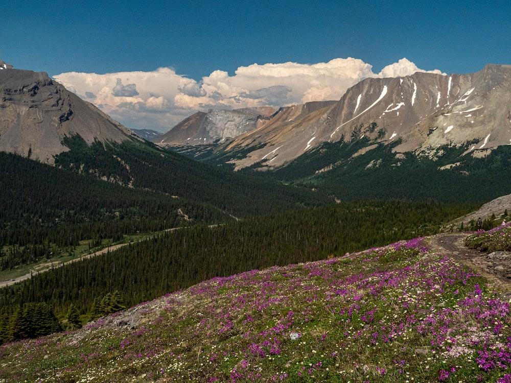 purple flower field near mountain during daytime
