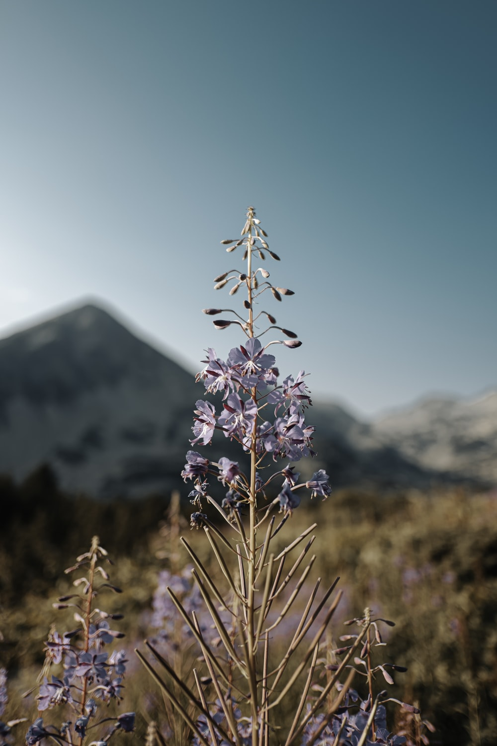 purple flower in front of snow covered mountain during daytime