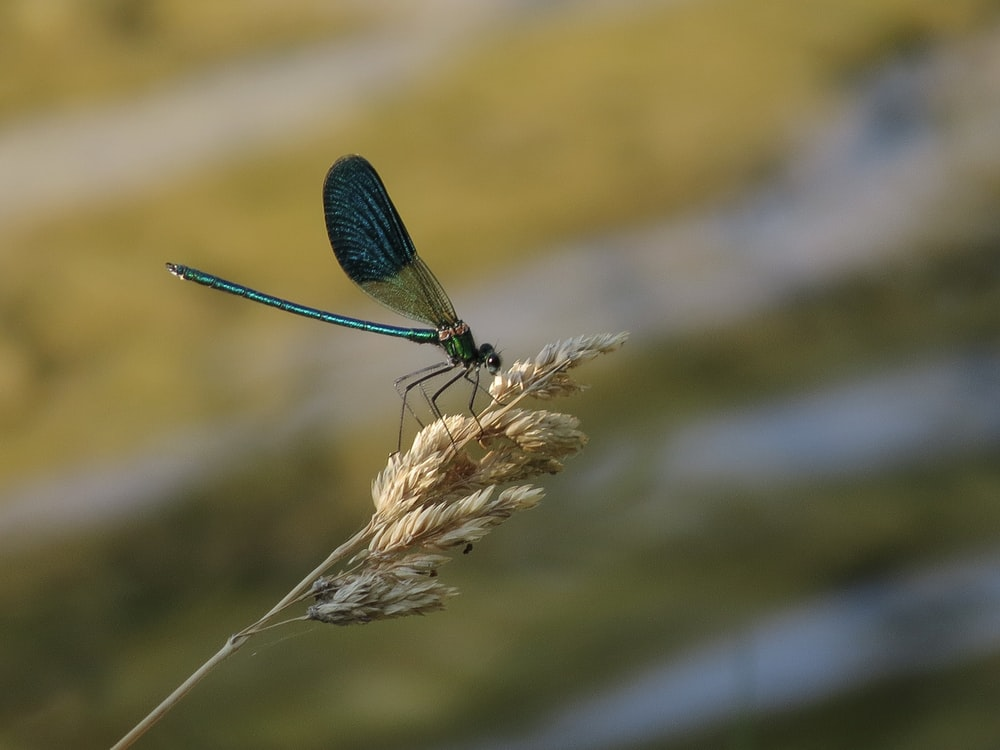 black damselfly perched on brown plant in close up photography during daytime