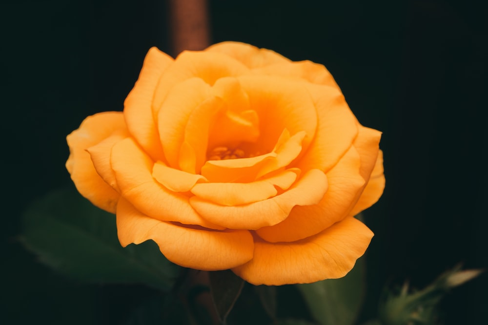 yellow rose in bloom close up photo