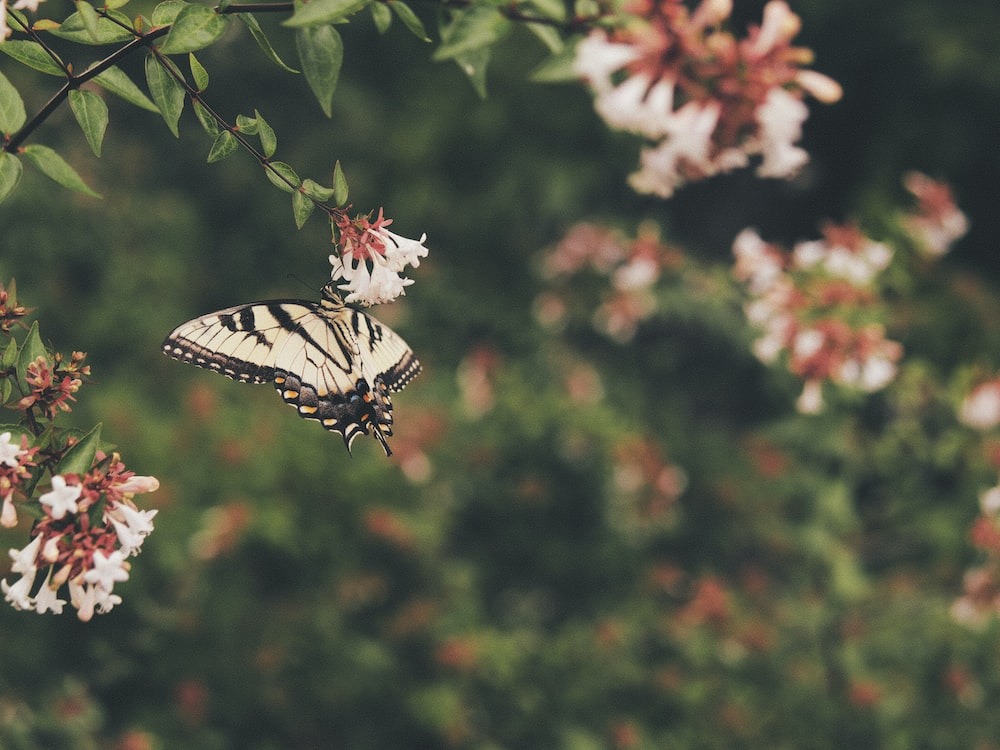 tiger swallowtail butterfly perched on red and white flower in close up photography during daytime