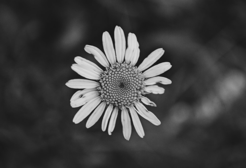 grayscale photo of white daisy