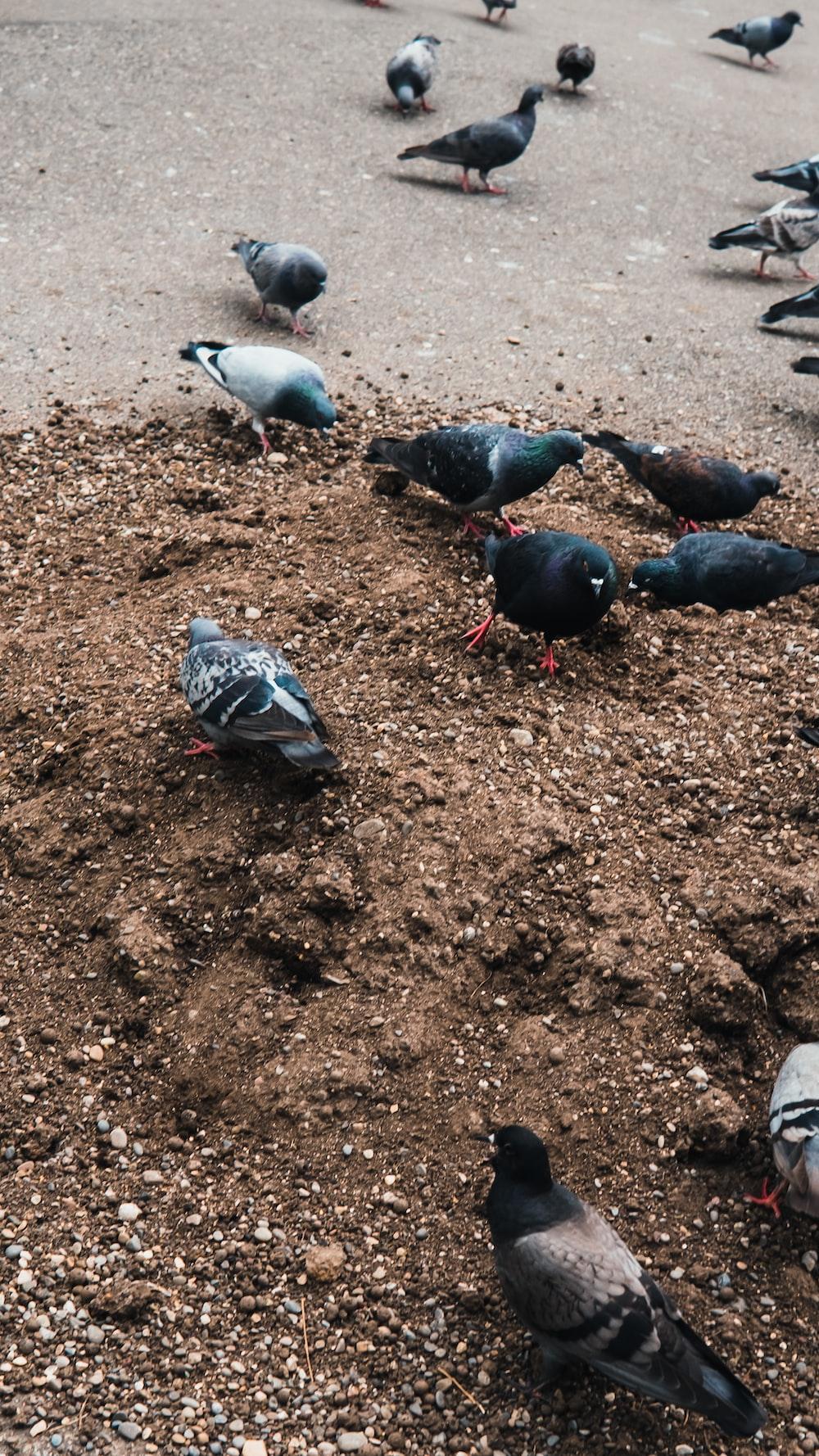 black and white birds on brown soil
