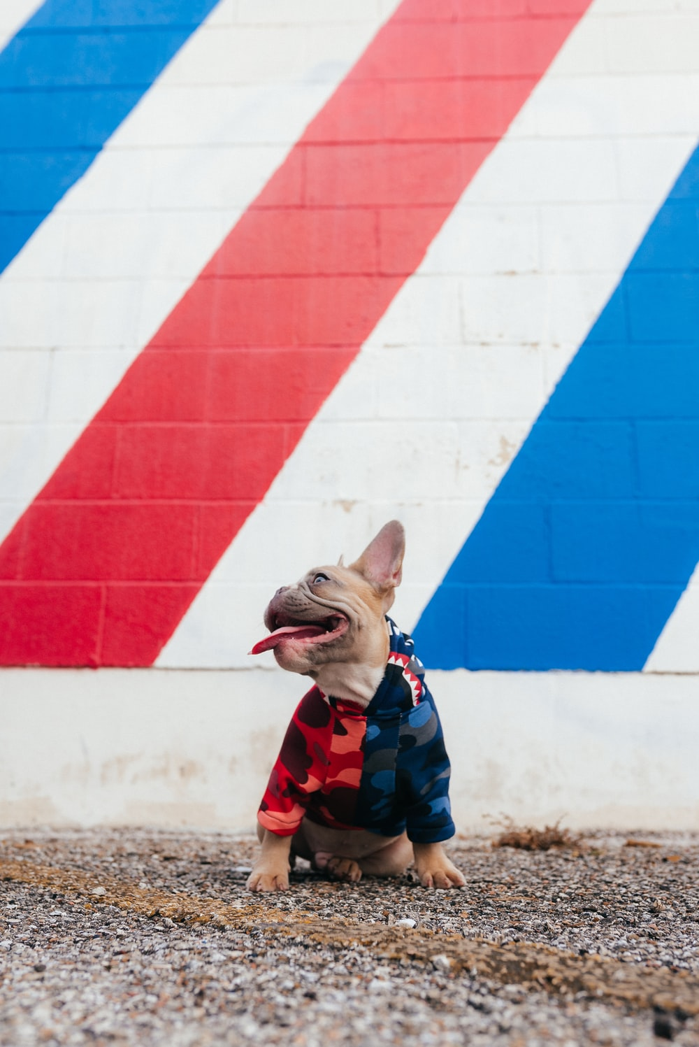brown and white short coated dog wearing red and blue shirt