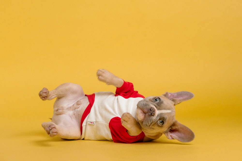 brown short coated dog wearing red and white shirt