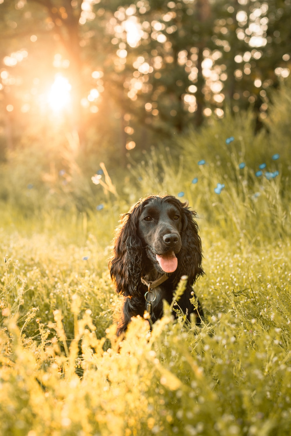 black and brown short coated dog sitting on yellow flower field during daytime