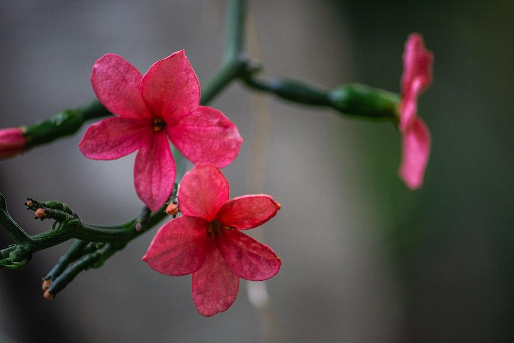 pink 5 petaled flower in bloom during daytime