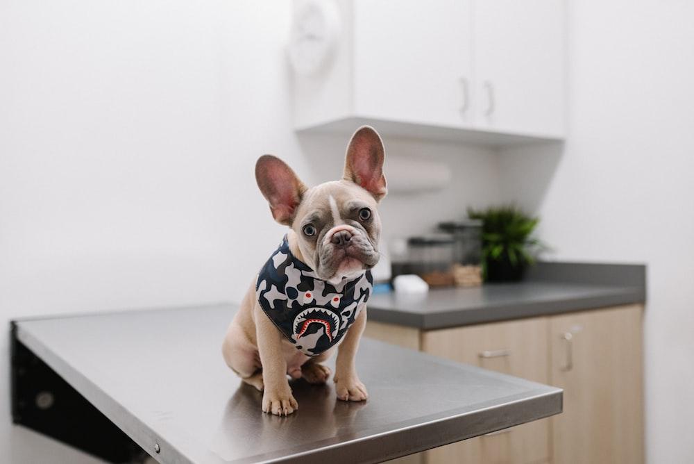 white and black short coated dog wearing white and black polka dot shirt
