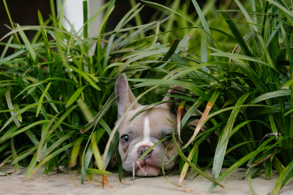white and brown french bulldog puppy on brown wooden floor