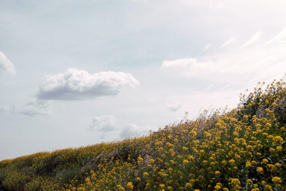 yellow flower field under white clouds during daytime