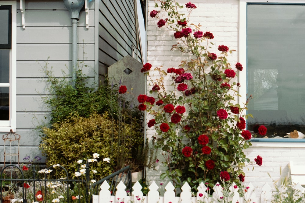 red and white flowers near white wooden fence