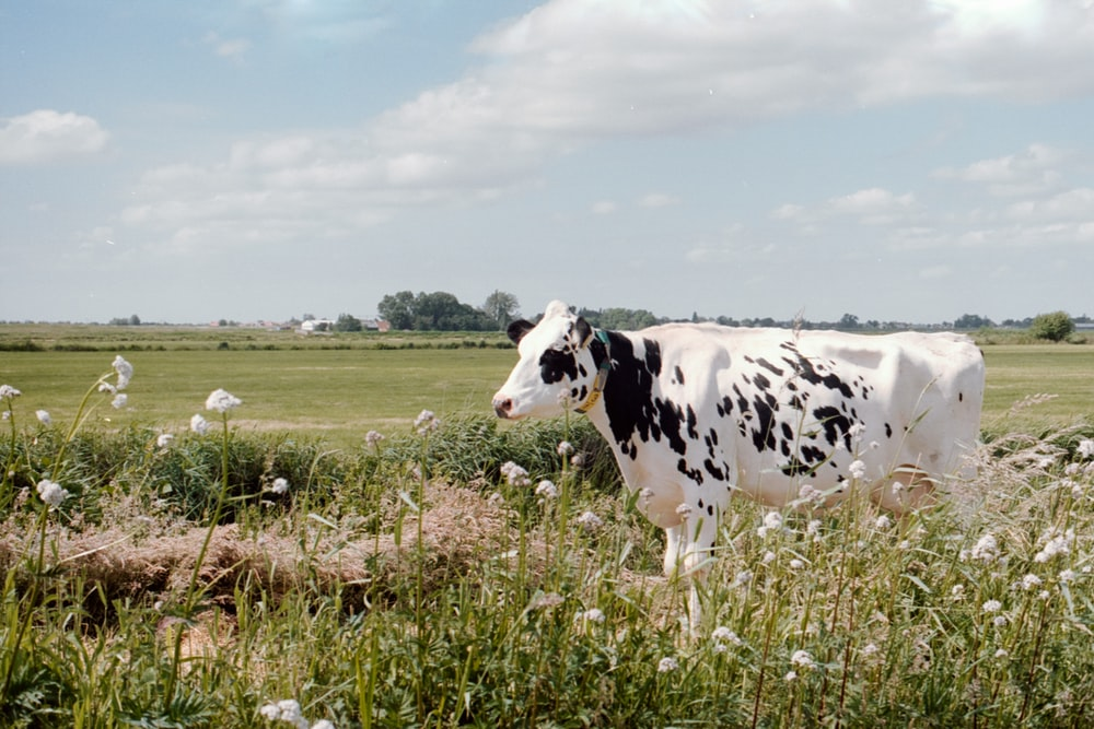 white and black cow on green grass field during daytime