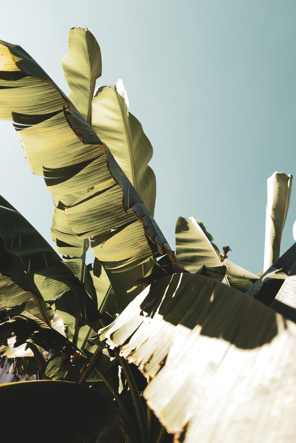 green banana leaves on brown wooden stick