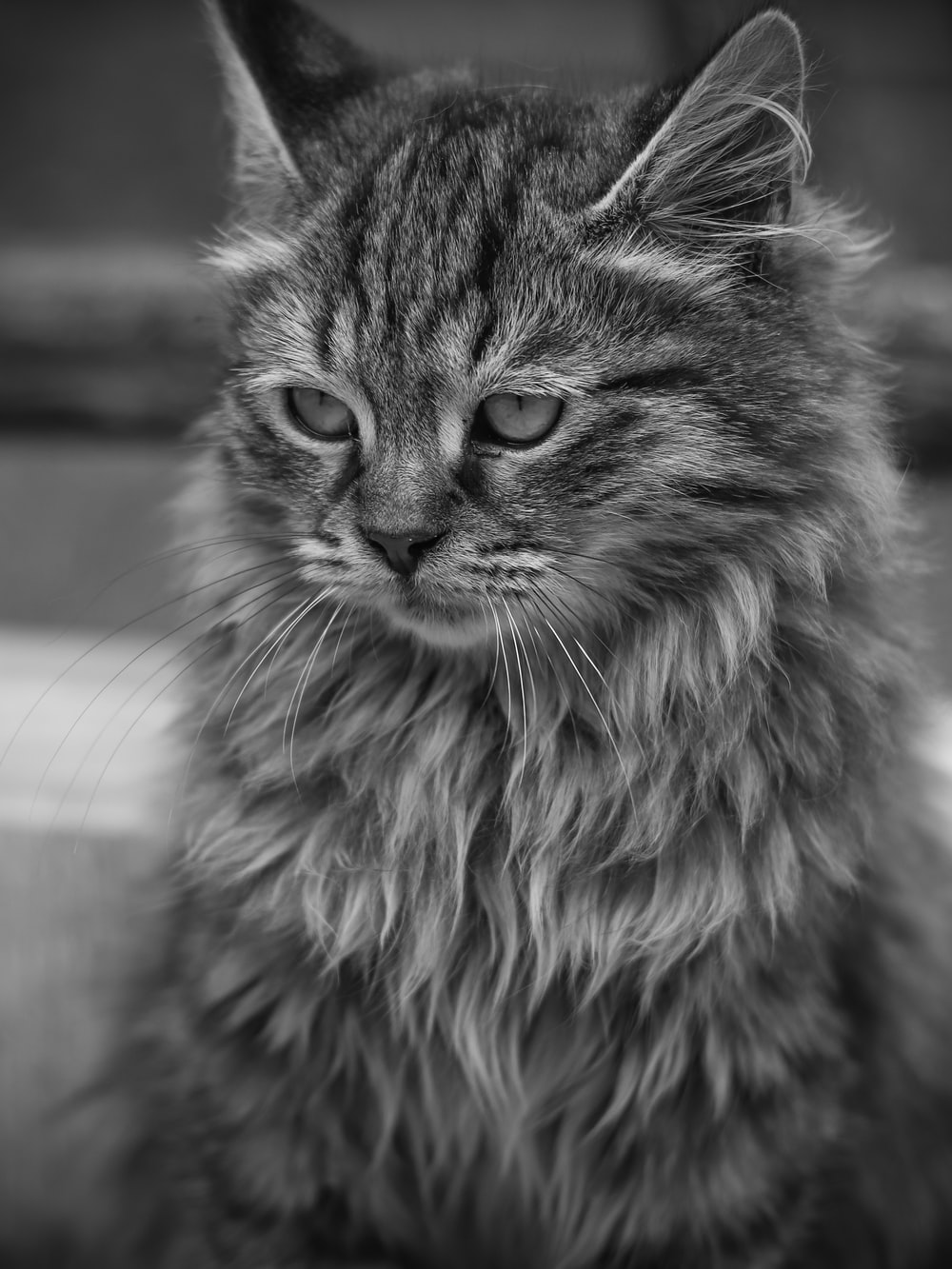grayscale photo of long fur cat