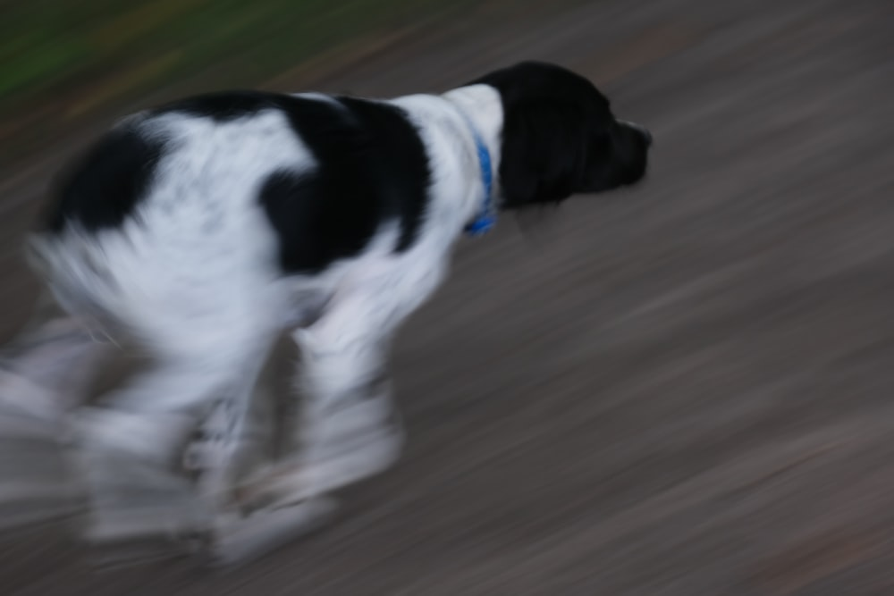 black and white short coat medium sized dog