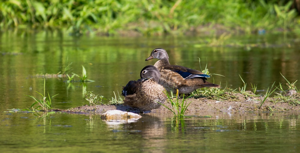two brown and black duck on water during daytime