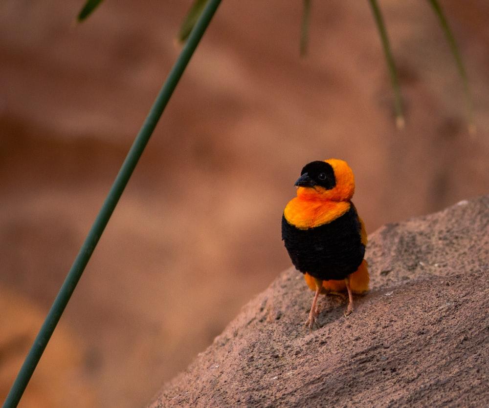 black and yellow bird on gray rock