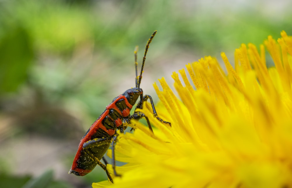 red and black bug on yellow flower
