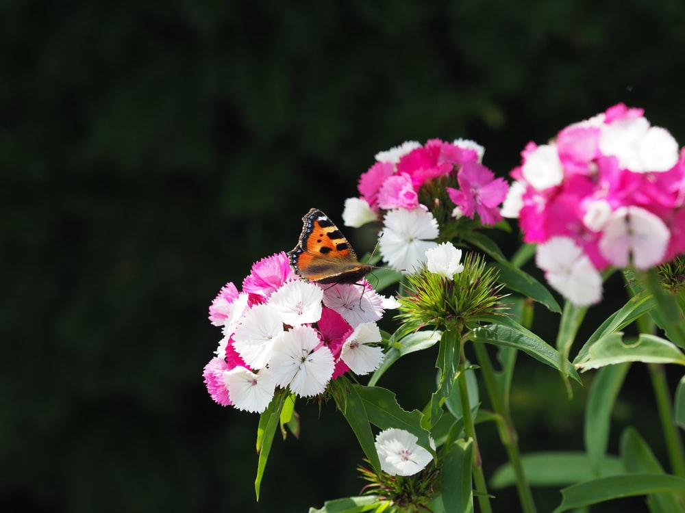 brown black and orange butterfly perched on pink flower