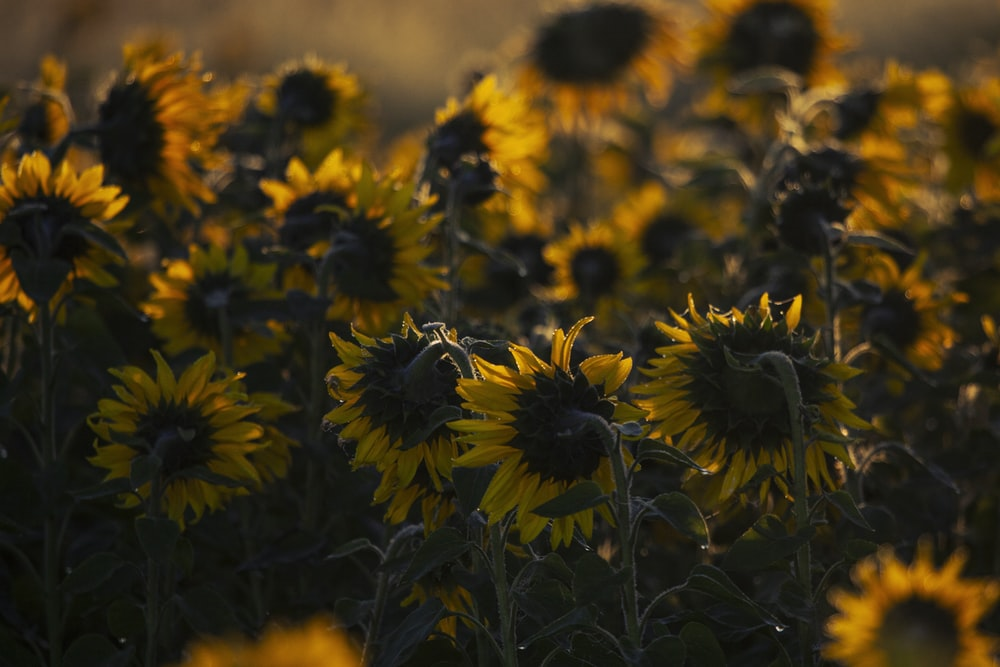 yellow and black sunflower field during daytime