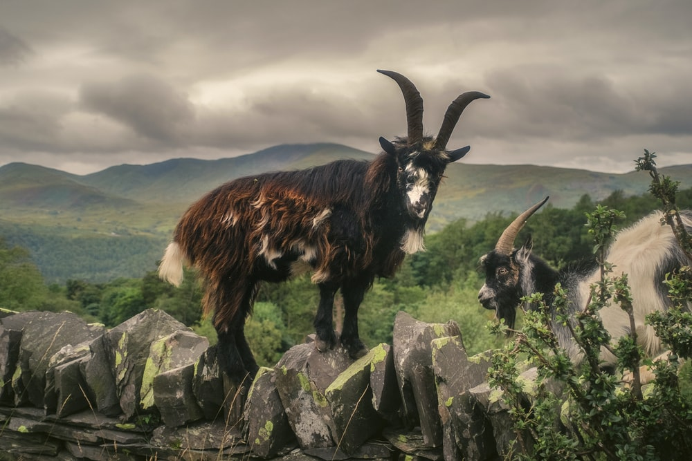 brown and white goat on gray rock during daytime