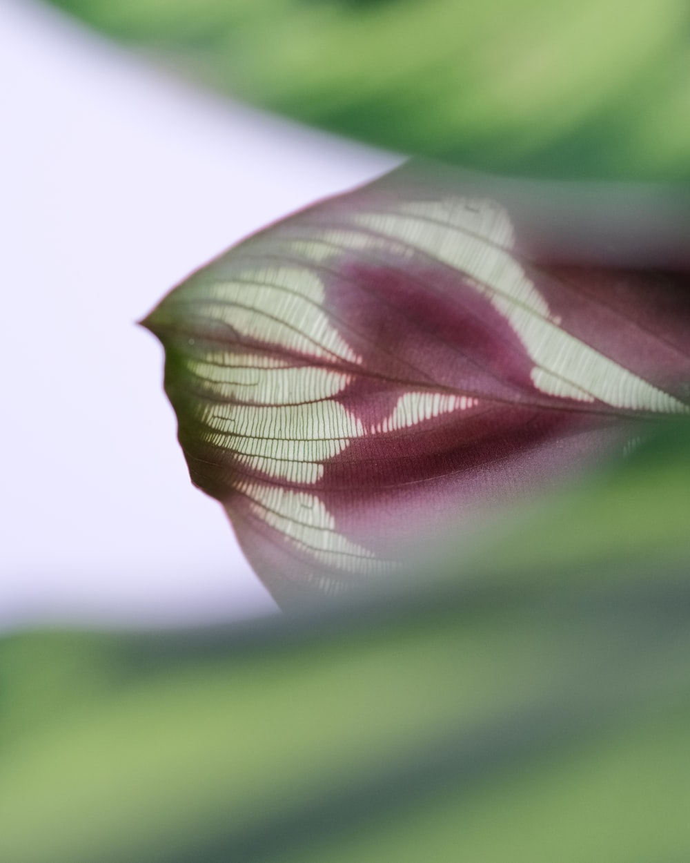 purple and green leaf in macro photography