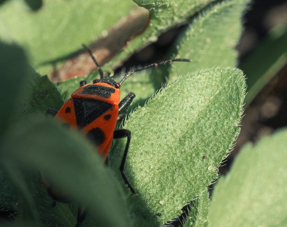 orange and black ladybug on green leaf