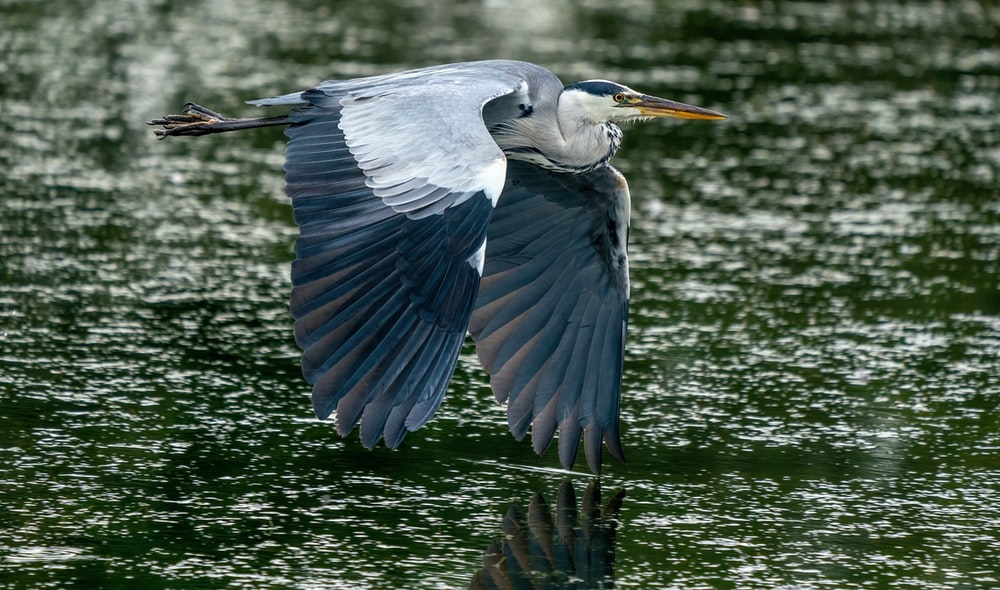 blue and white bird flying over the water