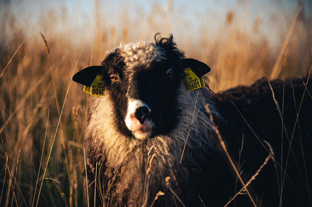 black and white sheep on brown grass field during daytime