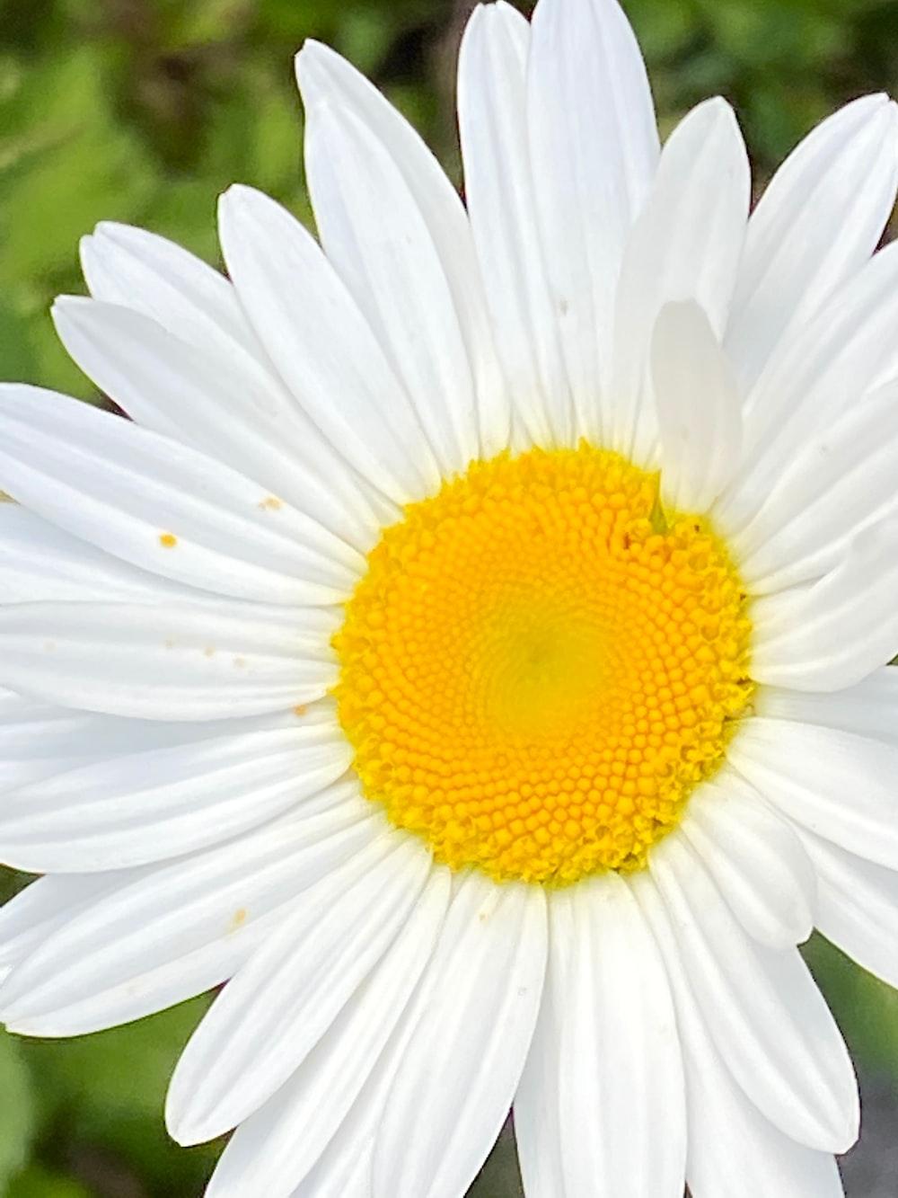 white and yellow daisy flower