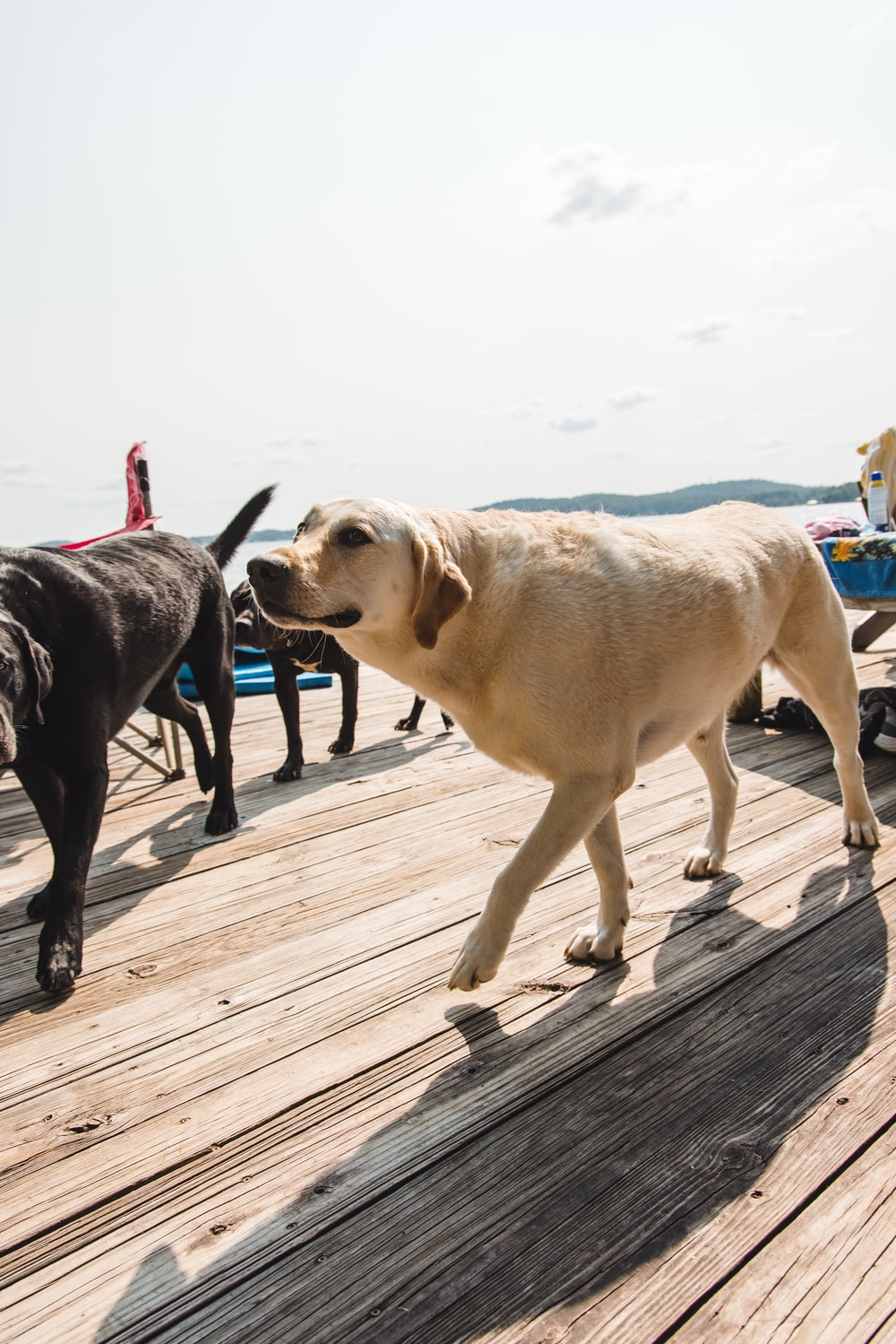black and yellow labrador retrievers on wooden dock during daytime