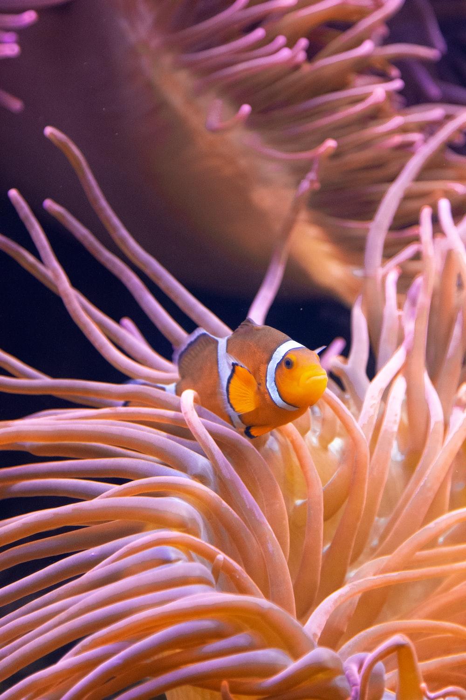 yellow and white clown fish