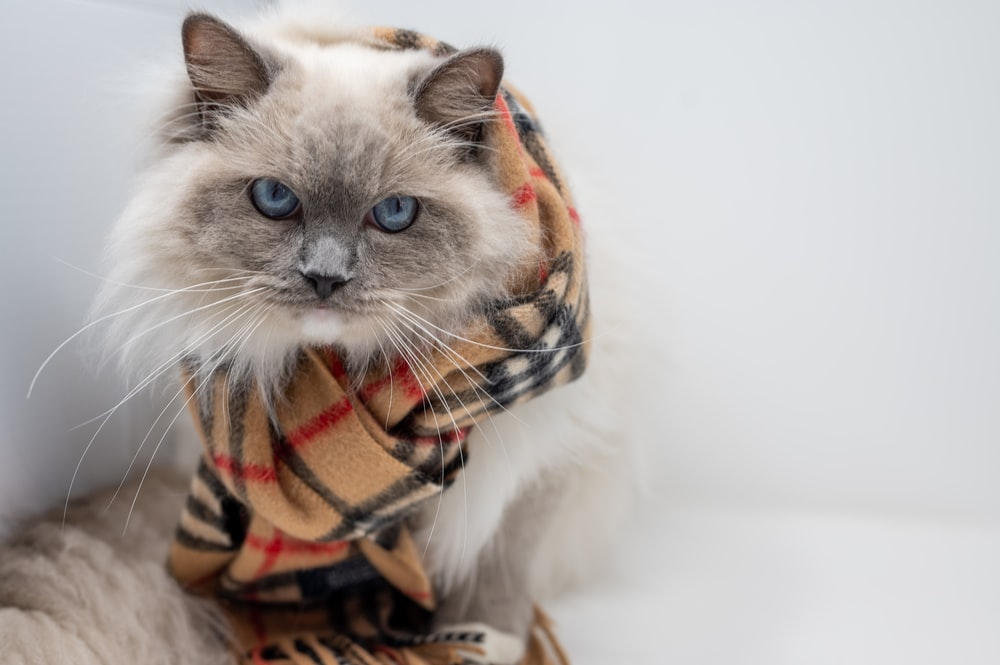 white and brown cat wearing orange and black scarf