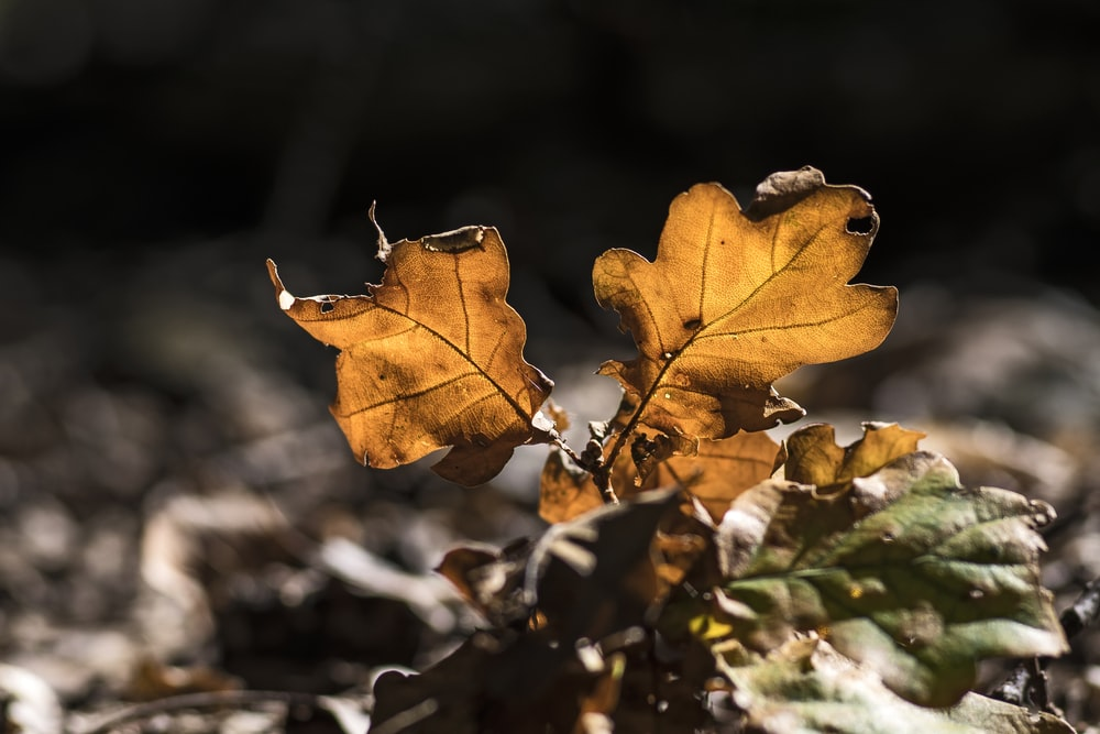 brown maple leaf in grayscale photography