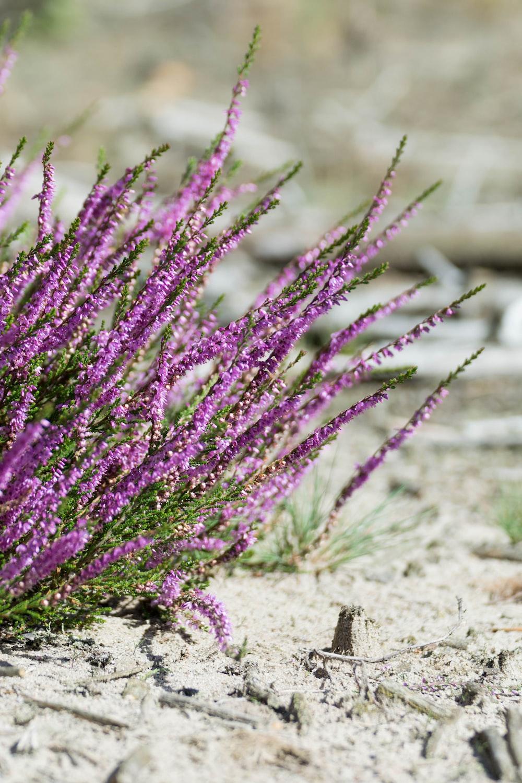 purple flowers on brown sand